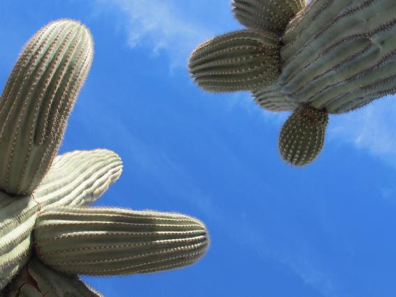 Looking up at saguaro