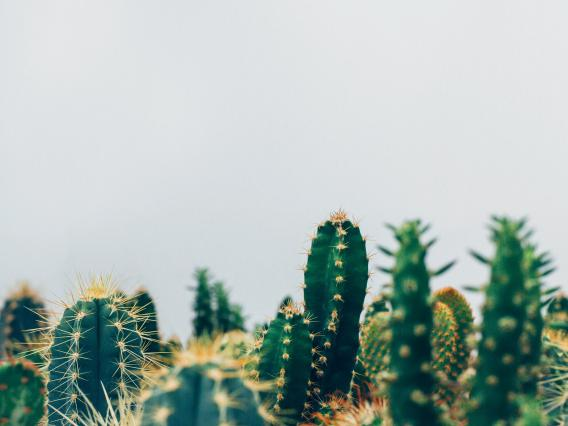 Cacti infront of grey background